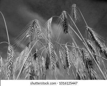 High contrast black and white photograph of ripe barley ready for harvest
