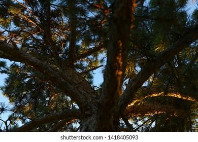 High contrast dark brown scotch fir