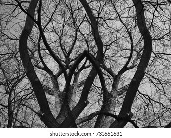 High contrast of dead trees in black and white - Concepts of Halloween, Friday the 13th, Mysterious environment.