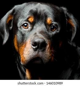 High Contrast Studio Portrait Of An Adult Male Rottweiler Purebred Dog