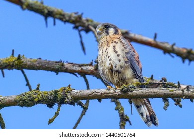 high definition American Kestrel close up