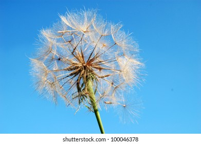 high definition dandelion flower, blue sky on background