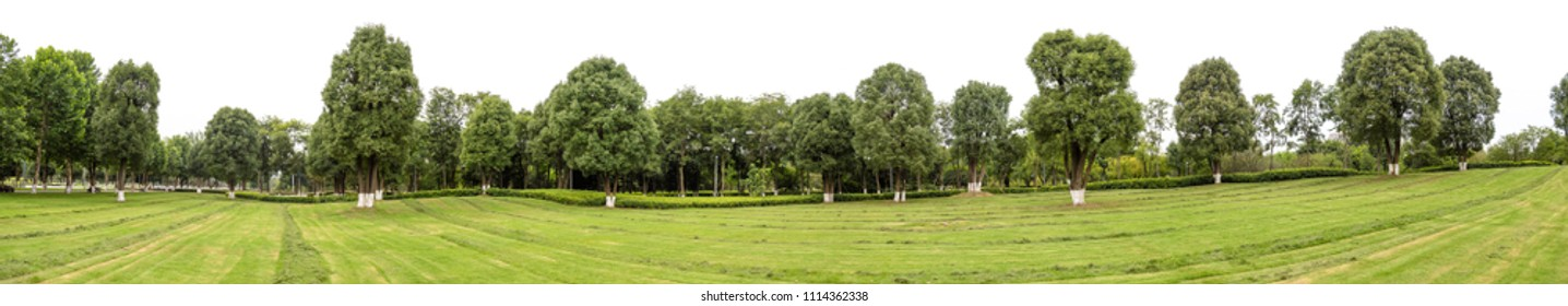 High definition Tree line isolated on a white background, trees in rows.