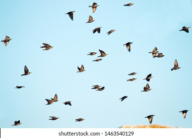 """A high degree of interaction among the flying flock of starlings, following the example of a neighbor """"do as I do"""""""