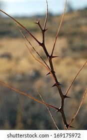 High Desert thorn bush