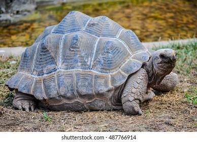 High dynamic range (HDR) Aldabra giant tortoise (Aldabrachelys gigantea) reptile animal