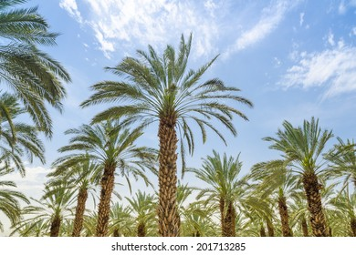 High figs date palm trees in Middle East orchard oasis middle of desert and lush leafage against blue sky