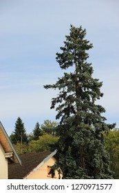 A high fir in front of a house in Avanne, Franche Comté, France