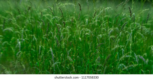 high flowering grass in the meadow