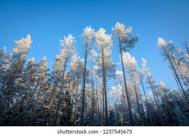 high forest pines in frost
