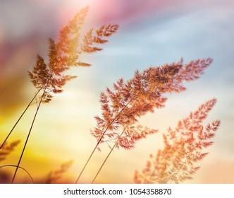 High grass, grass seed - sunset in meadow (dusk) - beautiful nature