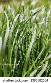 high green grass lawn background in sunlight.