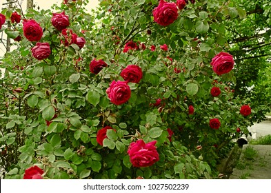 High growing bushes of fragrant red rose attached to iron rods around the house