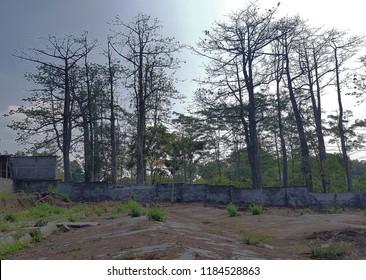 high kapok trees
