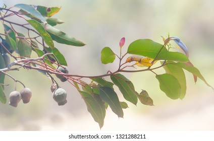 High key branch of redgum tree with gumnuts