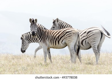 high key image of a single zebra offset from his herd