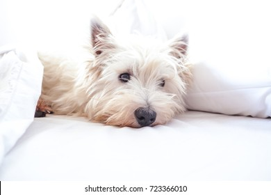 High key image of west highland white terrier westie dog in bed with pillow and sheets with copy space