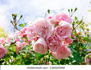 High key light of Pink English roses in the garden with bright light in the morning,  English rose by David Austin, Pink flower