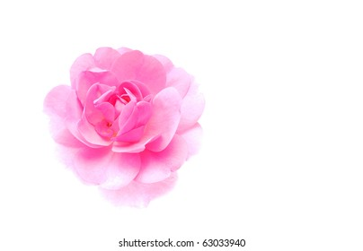 high key pink rose on a white background