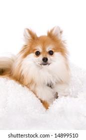 High key portrait of a beautiful Pomeranian puppy.