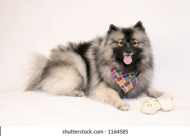 High key portrait of a young female Keeshond dog with her favorite bone