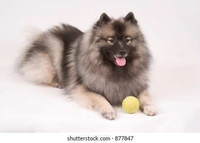 High key portrait of a young female Keeshond dog with tennis ball
