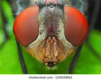 High magnification (5X) and detailed of portrait fly insect (Diptera) macro, colorful of eyes.