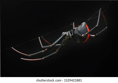 High magnification of female redback spider (black widow) hanging on it web in dark enviroment