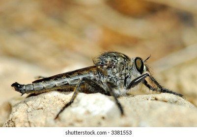 High magnification macro image of robber fly. Place for text on top.