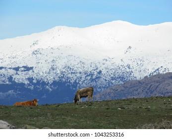 High mountain livestock in Colmenar Viejo (Madrid, Spain).