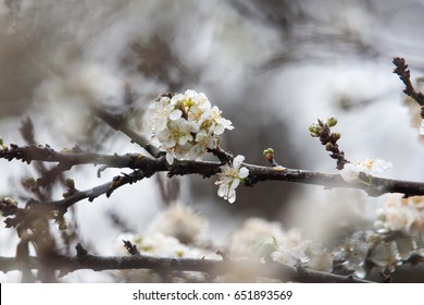 high mountains Moc Chau, Vietnam, in the spring, many plum blossom, white. Beautiful white plum blossoms, focused on the fresh yellow stamen.