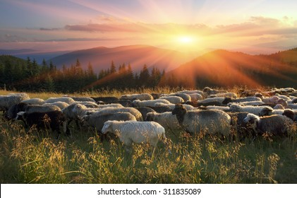 High in the mountains at sunset shepherds graze cattle among the panorama of wild forests and fields of the Carpathians. Sheep provide wool, milk and meat for agriculture