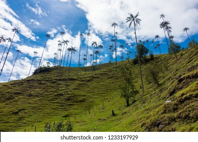 High Palm Trees in the Cocora Valley, Coffee region, Salento, Colombia, South America