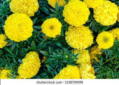 High perspective of yellow flowers ina garden.