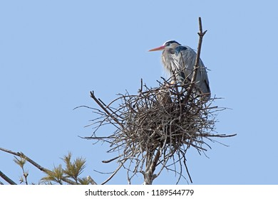High in a pine tree and against a powder blue sky, a great blue heron prominently guards its nest.  A second heron can be seen peaking through the nest branches.