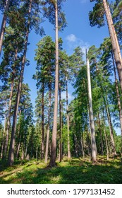 High pine trees in a forest in summer