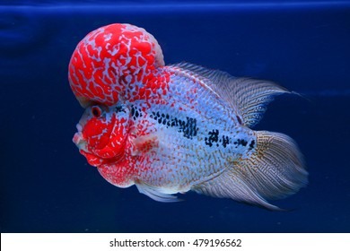 High Quality Flowerhorn Supper Red Pearl Male Flowerhorn Cichlid Best Beautiful in Water Aquarium with Blue Background