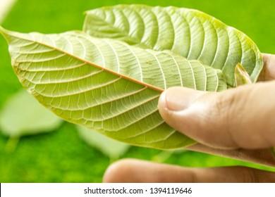high quality and fresh kratom leaf.