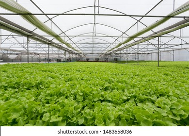 high quality of greenhouse hydroponic farm full of vegetables, plant base food ingredient.