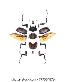 The high quality photo showing the morphology of one of the heaviest insects in the world, Megasoma actaeon beetle, isolated on white background.