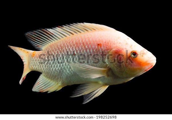 High Quality Shot Of Red Tilapia Fish Underwater Studio Aquarium Shot Isolated On Black