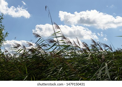 High reed, cane, reed bed (Phragmites australis) in the wind on sunny summer day with blue sky and clouds in the background