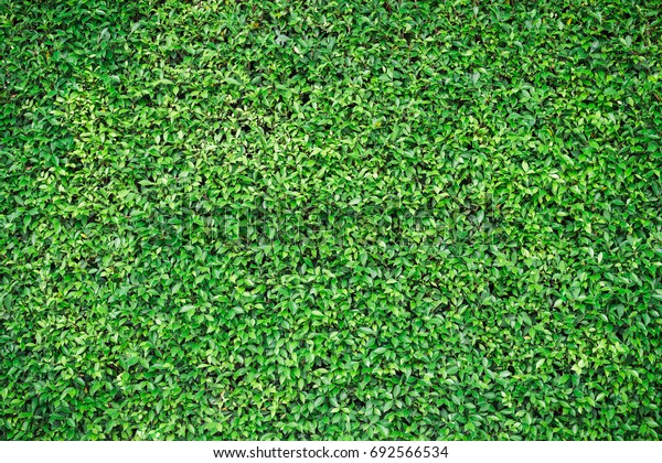 High resolution background picture of the small green leaf wall. For material of design.