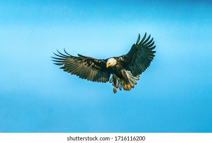 High resolution bald eagle fly in the sky