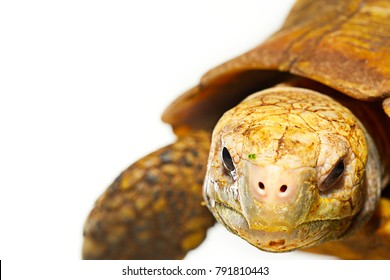 High resolution close up macro photo of elongated tortoise face (Indotestudo elongata) in front of white background with copy space. Flash light made to show how tortoise look cute.