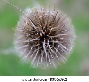 High resolution detailed macro top view photograph of teasel head, focused on the nearest spikes.