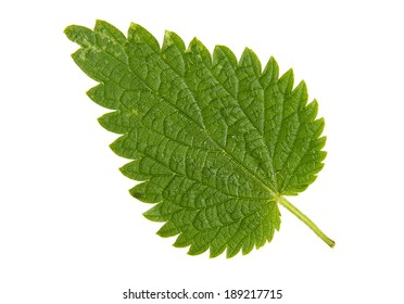 High Resolution green leaf of  nettle isolated on white background