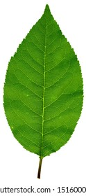 High resolution leaf texture
