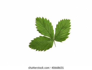 High Resolution leaves of wild strawberries isolated on white
