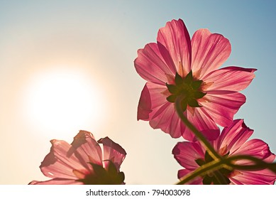 High resolution low angle close up macro photography of beautiful red flower over sunrise in winter with copy space. Warm sunshine made red petal transparently and turn in to pink flower.